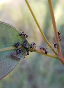 Ants harvesting honeydew, Wilkesdale QLD, Dec 2014