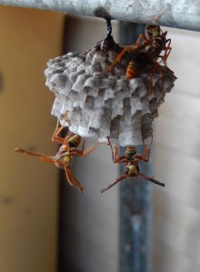 Paper wasps building nest, Wilkesdale, QLD Dec 2014