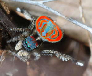 photos from: http://www.abc.net.au/news/2014-08-14/discovering-maratus-harrisi/5670424