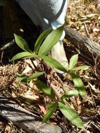20160709 super soft leafed bush. felt like velvet. Small hairs like fluff all over the surface
