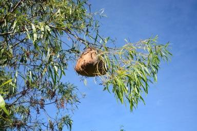 Bag moth caterpillar nest