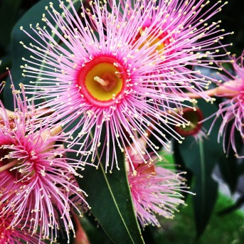 Flowering Eucalyptus (Corymbia ficifolia variety)