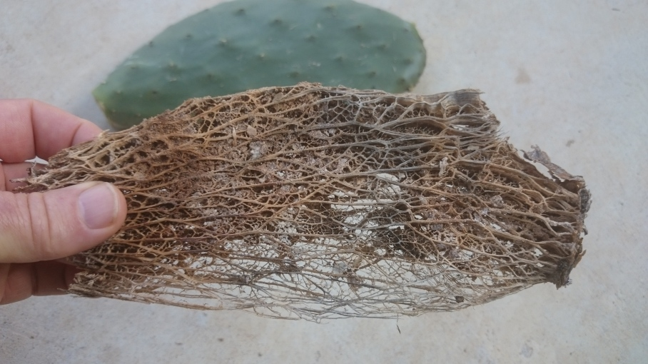 Cactus pad skeleton in foreground and complete cactus pad in background