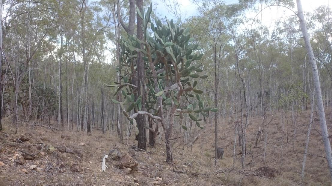 Invasive Prickly Pear cactus still present today