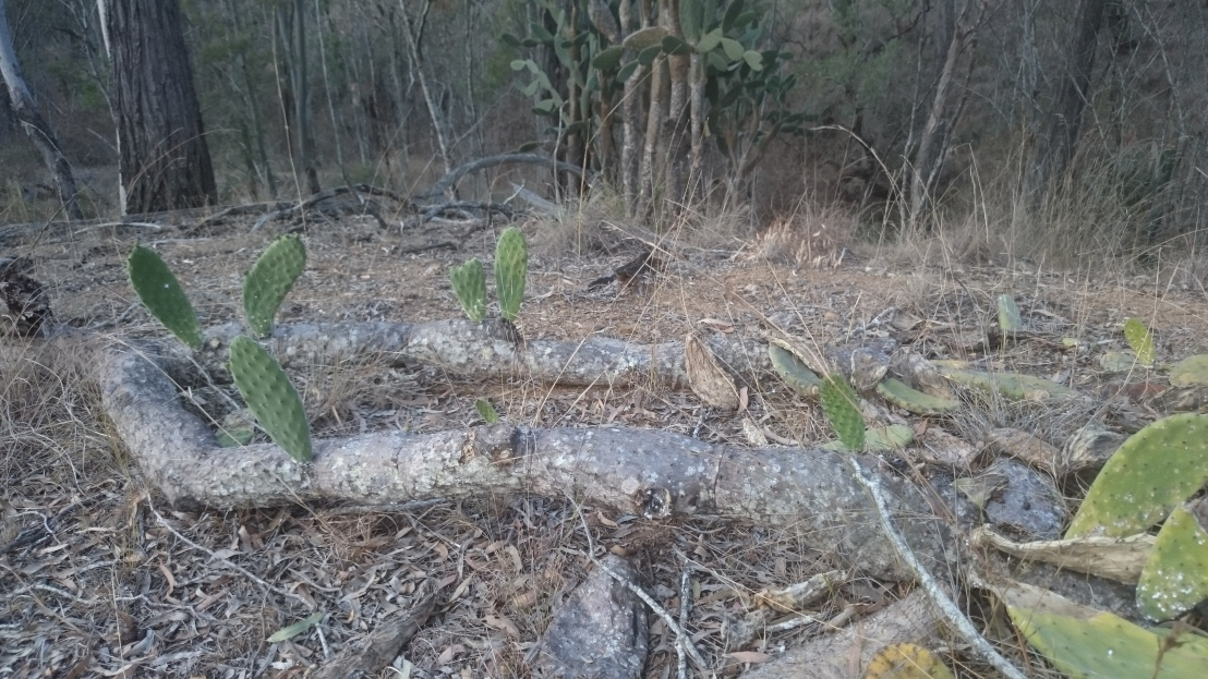 When a tree or pad falls to the ground, multiple new cacti grow from the old one
