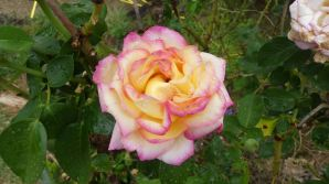 20200117-1407-2410--au4608cwr14243-rose pink yellow-2000x1124px