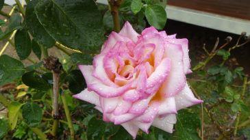 20200117-1407-3671--au4608cwr14243-rose pink-2000x1124px