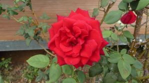 20200117-1426-0657--au4608cwr14243-rose red-2000x1124px