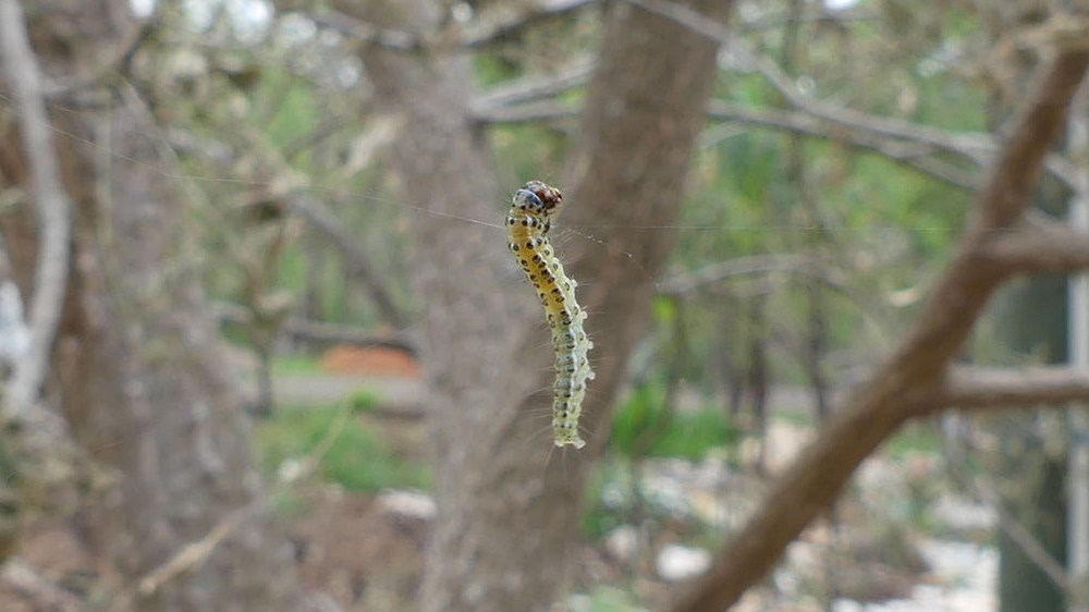 One of many caterpillars that ate the tree's leaves