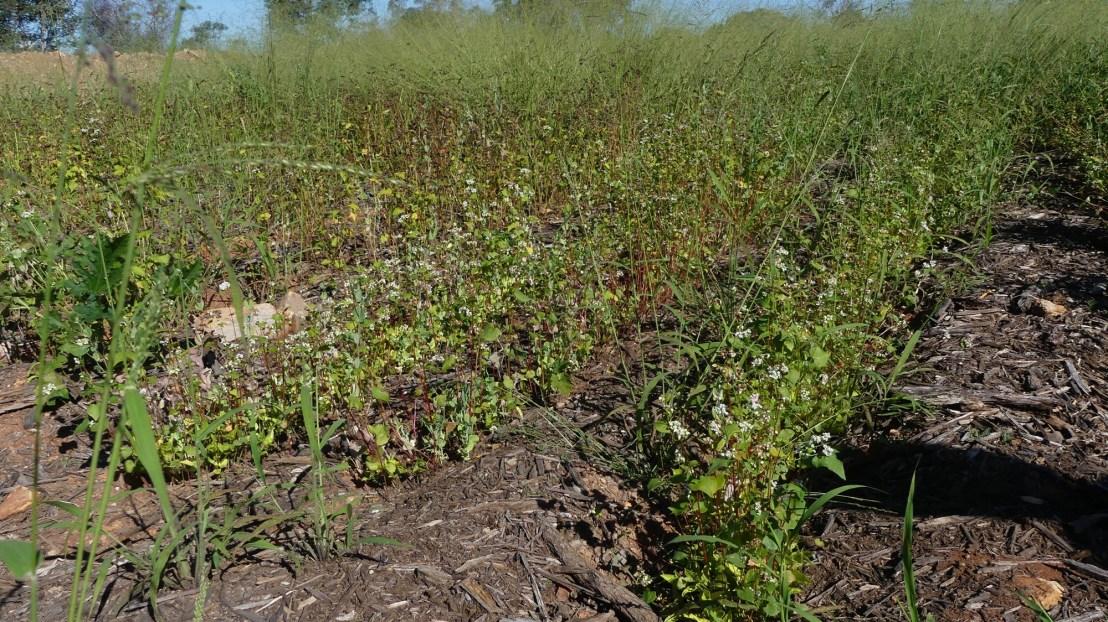 Buckwheat flowers in terraces, April 2020.