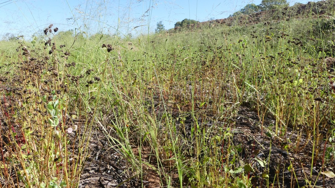 Buckwheat goes to seed in terrace, April 2020.