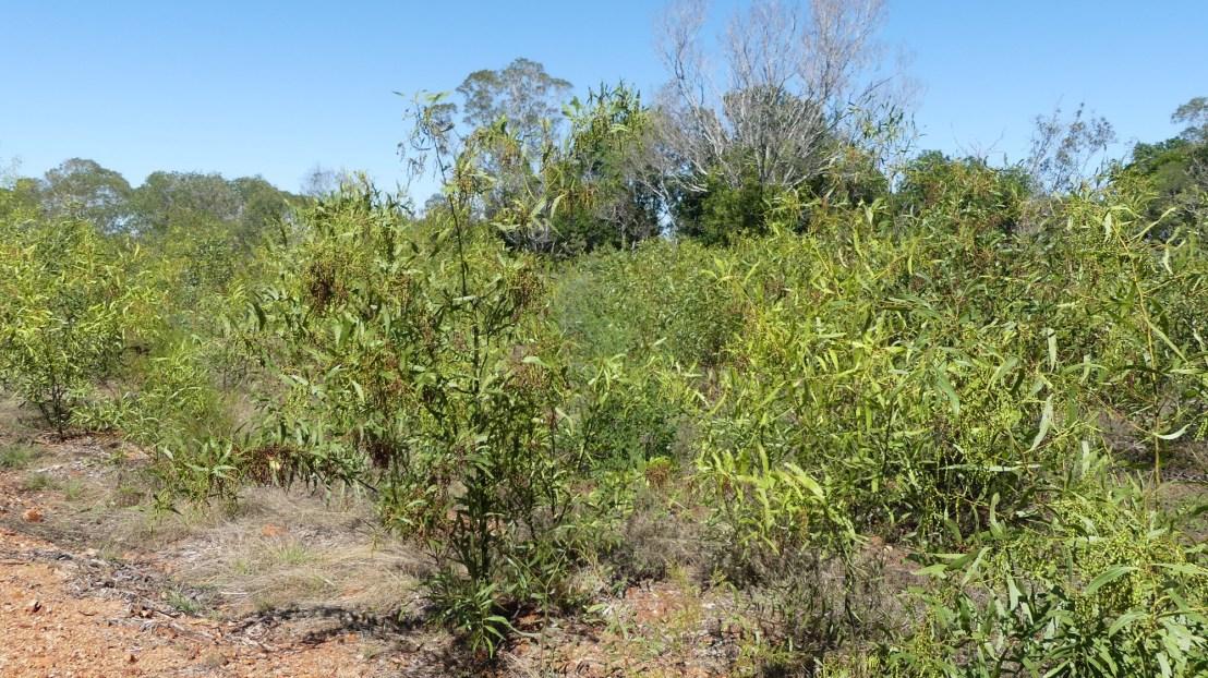Wattles growing in terraces, October 2020.