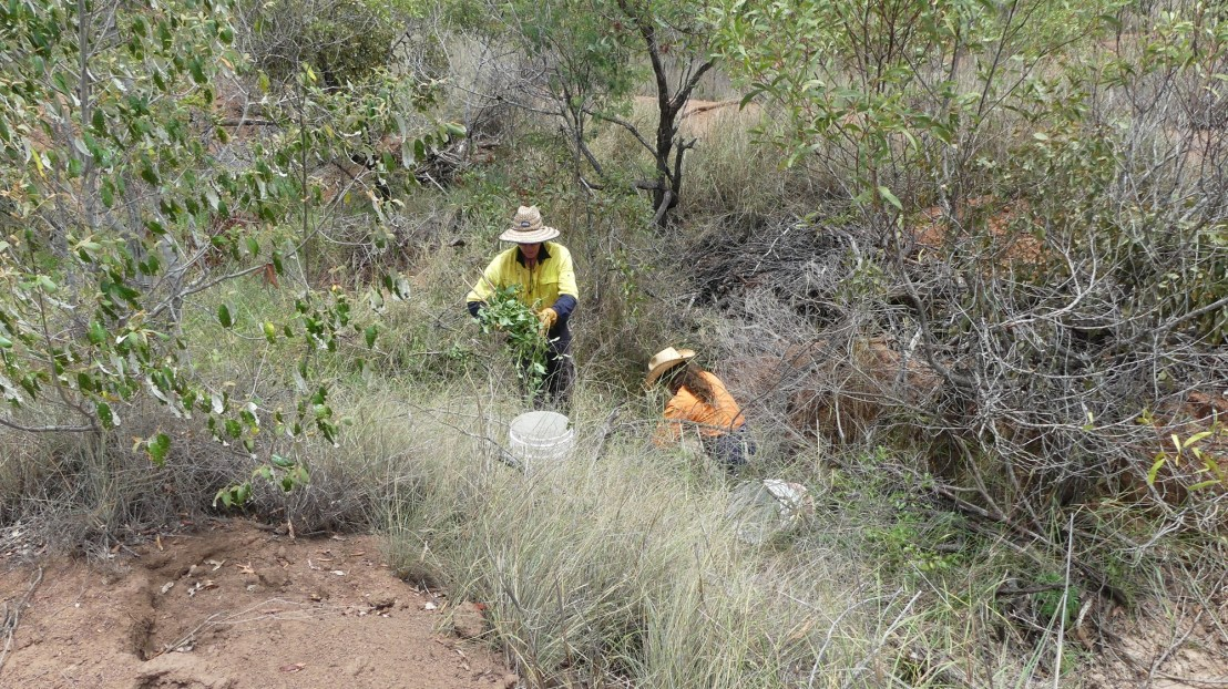 Probation volunteers remove lantana from eroded gully, November 2020.